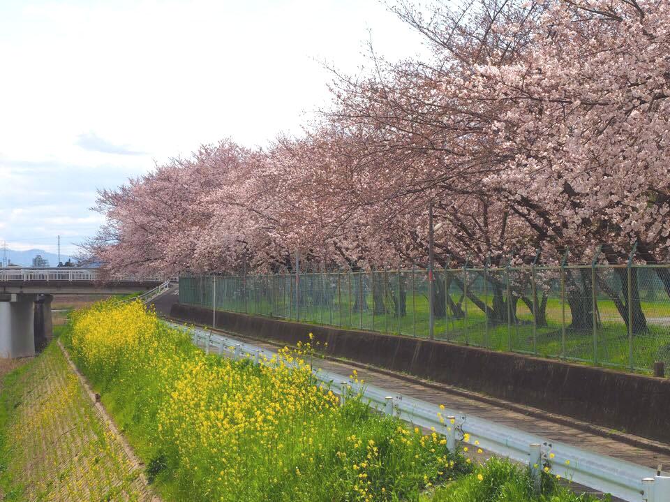 長岡京駅周辺の桜