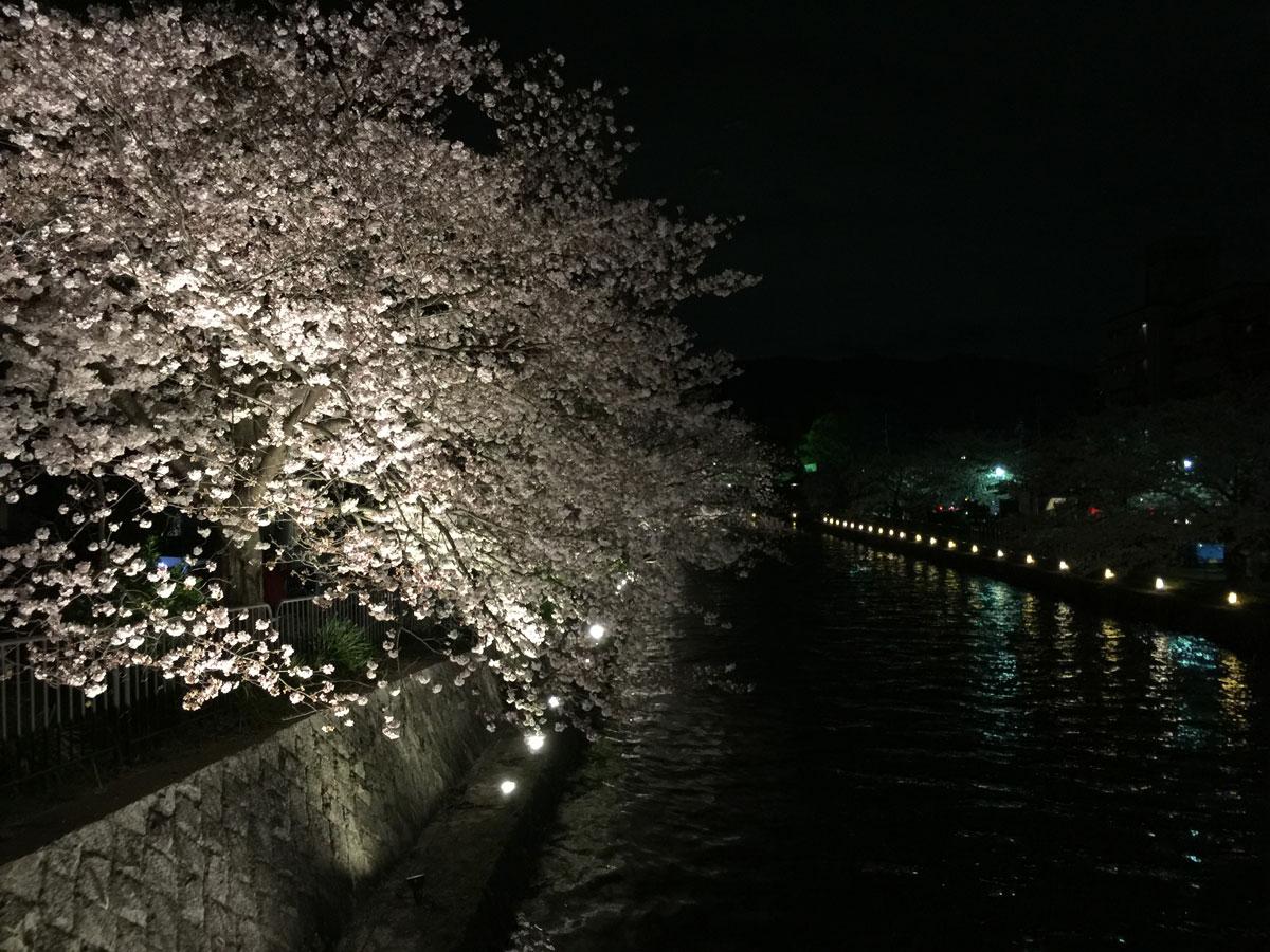 平安神宮川沿いの桜